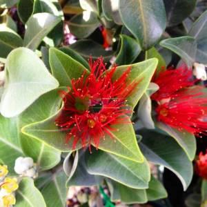 Yılbaşı ağacı,Pohutukawa ağacı,Noel ağacı - Metrosideros thomasii (MYRTACEAE)