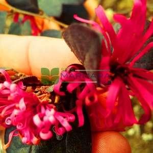 Çin cadısı fındık ağacı,Çin ardıcı, Loropetalum,Pembe saçak çiçek - Loropetalum chinense var. rubrum fire dance (HAMAMELIDACEAE)