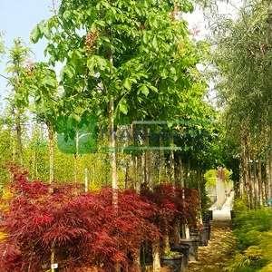 Pembe-Kırmızı çiçekli atkestanesi - Aesculus carnea briotti (HIPPOCASTANACEAE)