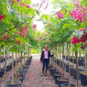 Pembe Kırmızı çiçekli atkestanesi - Aesculus carnea briotii (SAPINDACEAE)