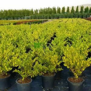 Kurtbağrı geniş yapraklı - Ligustrum japonicum texanum (OLEACEAE)