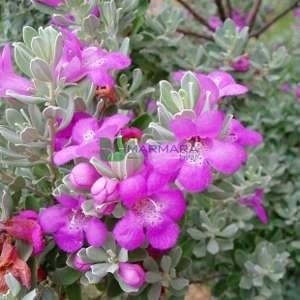 Mor Adaçayı,Texas adaçayı,kül çayı, - Leucophyllum frutescens (SCROPHULARIACEAE)