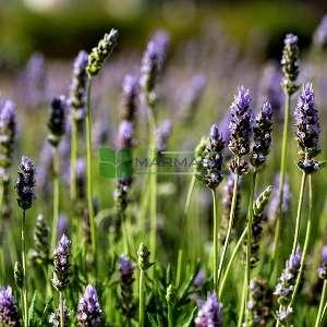 Lavandula, Lavender Species, Fringed Lavender, French Lavender