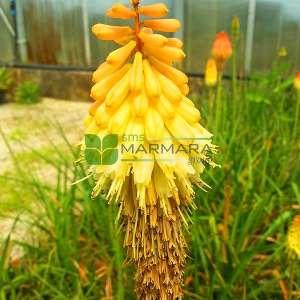 Fener Çiçeği, Meşale zambak - Kniphofia uvaria (ASPHODELACEAE)