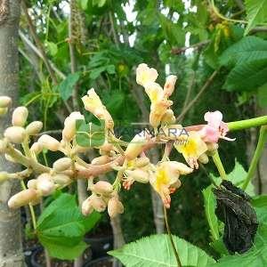 Beyaz çiçekli atkestanesi - Aesculus hippocastanum (HIPPOCASTANACEAE)