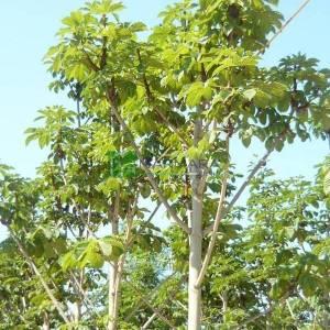 Horse Chestnut, Conker Tree