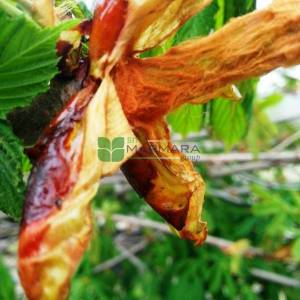 Beyaz çiçekli atkestanesi - Aesculus hippocastanum (SAPINDACEAE)