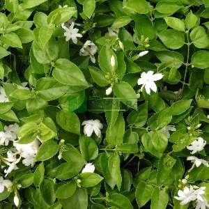 Arap Yasemini, Kutsal Yasemin - Jasminum sambac (OLEACEAE)
