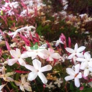Yasemin pembe çiçekli - Jasminum polyanthum (OLEACEAE)