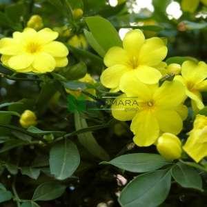 Yasemin sarı çiçekli, Çin yasemini - Jasminum mesnyi (OLEACEAE)