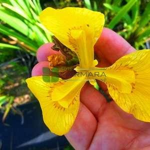 Bataklık süseni, Sarı süsen - Iris pseudacorus (IRIDACEAE)