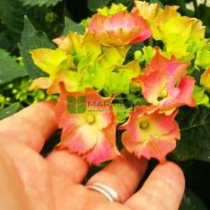 Dağ ortancası, Sürünücü ortanca - Hydrangea serrata (HYDRANGEACEAE)