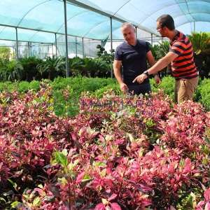 Japon gülü üç renk yapraklı, hatmi çalısı - Hibiscus rosa-sinensis
