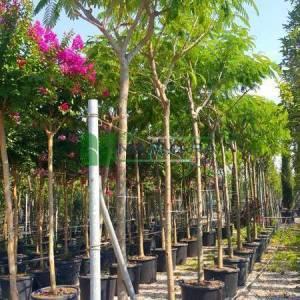İpek ağacı, İstanbul akasyası,Gülibrişim ağacı - Albizia julibrissin (FABACEAEA)