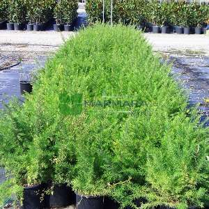 Biberiye Grevilya - Grevillea rosmarinifolia (PROTEACEAE)