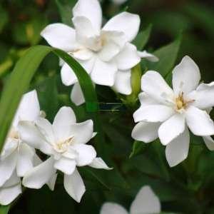 Gardenya, Burun yasemin - Gardenia jasminoides (RUBIACEAE)