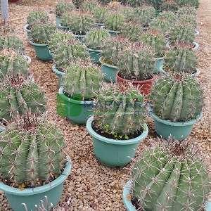 Ferocactus, Namlu kaktüs - Ferocactus chrysacanthus (CACTACEAE)