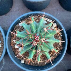 Ferocactus, Namlu kaktüs - Ferocactus horridus (CACTACEAE)