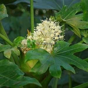 Japon Çınarı,Fatsia,Kağıt yaprağı,Aralya - Fatsia (Aralia) japonica (ARALIACEAE)