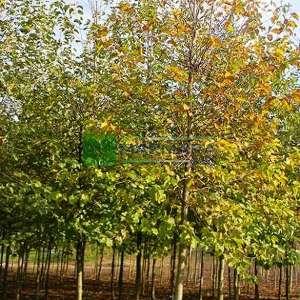 Kızılağaç,İnce yapraklı söğüt, Söğüt yapraklı kızılağaç - Alnus cordata (BETULACEAE)