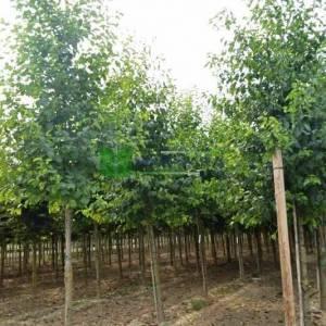 Kızılağaç, İtalyan kızılağaç, İnce yapraklı söğüt, Söğüt yapraklı kızılağaç - Alnus cordata (BETULACEAE)