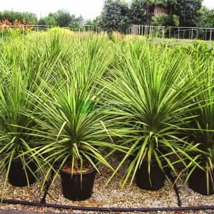 Drasena,Kardeş kanı, Geniş Yapraklı Lahana Ağacı - Dracaena indivisa (Cordyline indivisa) (ASPARAGACEAE)