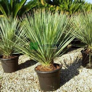ımpara kağıdı, Dasylirion - Dasylirion serratifolium (Yucca serratifolia) (ASPARAGACEAE)