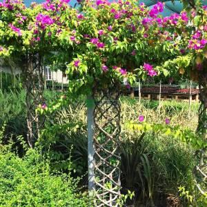 Begonvil, Kağıt Çiçek kafes şekilli - Bougainvillea glabra cage shaped (NYCTAGINACEAE)