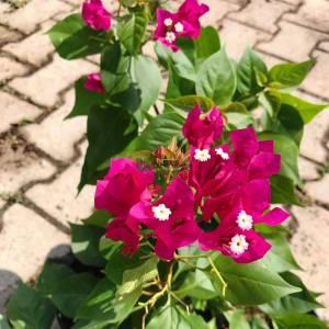 Begonvil, Kağıt Çiçek pembe, kırmızı çiçekli - Bougainvillea vera deep purple (NYCTAGINACEAE)