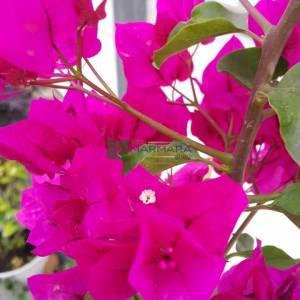 Begonvil Büyük, Kağıt Çiçek mor çiçekli - Bougainvillea spectabilis (NYCTAGINACEAE)