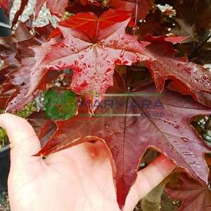 Kırmızı çınar yapraklı akçaağaç piramit formlu - Acer platanoides crimson king pyramidale (ACERACEA)