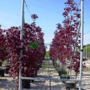 Kırmızı çınar yapraklı akçaağaç piramit formlu - Acer platanoides crimson king pyramid (ACERACEA)