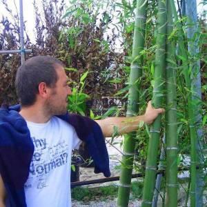 Altuni bambu, bambo - Bambusa (Phyllostachys) aurea (POACEAE)