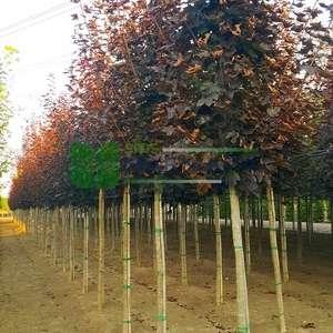 Akçaağaç kırmızı çınar yapraklı, kırmızı akçaağaç - Acer platanoides 'crimson sentry' (ACERACEA)