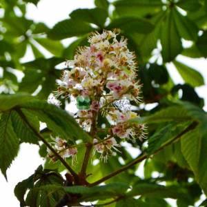 Atkestanesi beyaz çiçekli meyvesiz aşılı - Aesculus hippocastanum baumannii (SAPINDACEAE)
