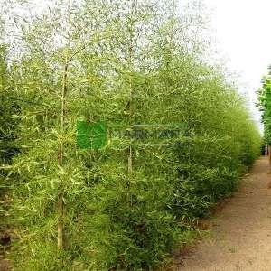 Avrupa Alder, Siyah Alder,Söğüt yapraklı kızılağaç - Alnus glutinosa