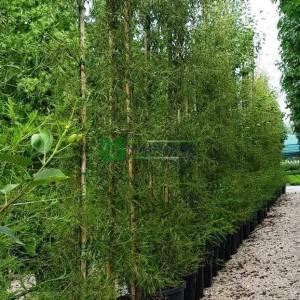 Avrupa Alder, Siyah Alder,Söğüt yapraklı kızılağaç - Alnus glutinosa imperialis (BETULACEAE)