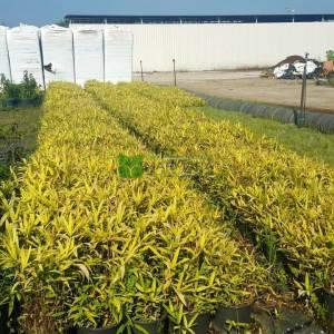 Bodur altuni bambu fidanı - Bambusa (Phyllostachys) nana variegata (POACEAE)