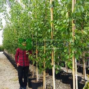 Himalaya huşu,Beyaz gövdeli huş - Betula utilis var. jacquemontii (BETULACEAE)