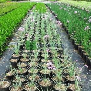 Sosyete sarımsağı alaca yapraklı, Sarımsak,pembe zambak - Tulbaghia violaceae silver lace (AMARYLLIDACEAE)
