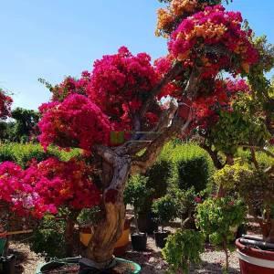 Begonvil Büyük, Kağıt Çiçek aşılı kırmızı, pembe, turuncu, - Bougainvillea glabra multicolor bonsai (NYCTAGINACEAE)