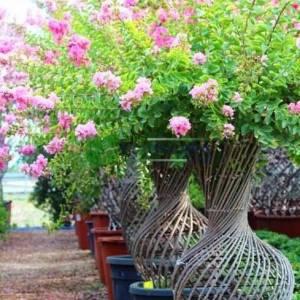 Oya ağacı örgülü vazo formlu aşılı - Lagerstroemia indica vase shaped (LYTHRACEAE)