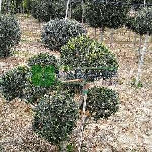 Ponpon mini şekilli Zeytin ağacı, Avrupa zeytini, Topiary zeytin - Olea europa mini ponpon (OLEACEAE)