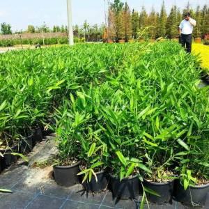 Bodur bambu fidanı - Bambusa (Phyllostachys) nana (POACEAE)