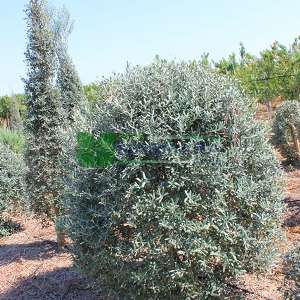 Top şekilli Zeytin ağacı, Avrupa zeytini, Topiary zeytin - Olea europa palle(OLEACEAE)