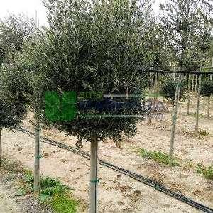 Tijli şekilli Zeytin ağacı, Avrupa zeytini, Topiary zeytin - Olea europa tige standart (OLEACEAE)