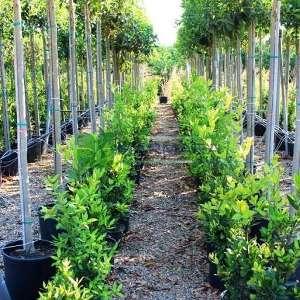 Defne çalısı, Akdeniz defnesi çalıformlu - Laurus nobilis bush (LAURACEAE)