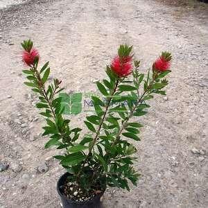 Şişe fırçası çalısı - Callistemon laevis bush (MYRTACEAE)