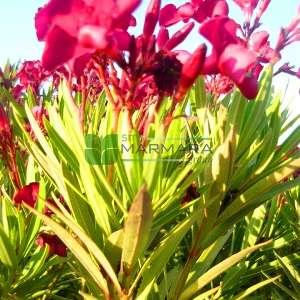 Zakkum bodur , Zıkkım, Ağı ağacı, Kan ağacı, Aşı ağacı, Ağı çiçeği - Nerium oleander rosso nana (APOCYNACEAE)