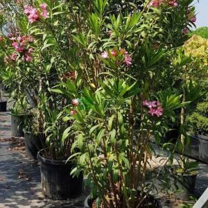 Zakkum pembe çiçekli çalı formlu - Nerium oleander pink bush (APOCYNACEAE)